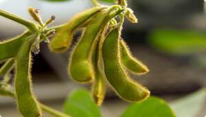 Soya ve soya yağının faydaları ve zararları nelerdir