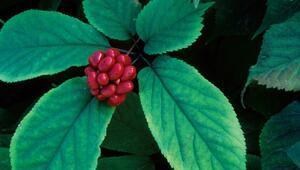 Ginseng nedir Ginseng bitkisinin faydaları