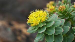 Rhodiola (altın kök) bitkisinin yararları nelerdir Rhodiola bitkisi hangi tedavilerde kullanılır