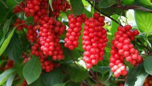 Schisandra bitkisinin faydaları ve zararları nelerdir Schisandra bitkisi pek çok tedavide kullanılıyor