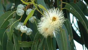 Okaliptus nedir, faydaları nelerdir
