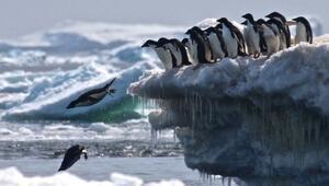 Anktartikada 1,5 milyon Adelie pengueninden oluşan dev koloni keşfedildi