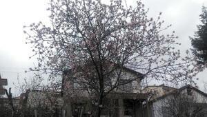 Beypazarında ağaçlar çiçek açtı