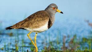 Gri başlı kız kuşu için Kızılırmak Deltasına geldiler