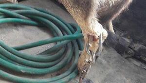 Bacağına zincir geçirilen köpeğin içler acısı hali yürek sızlattı