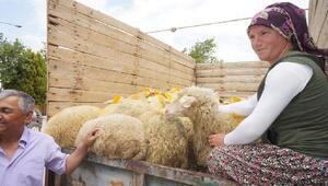 İki genç çiftçiye toplam 74 kuzu verildi