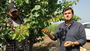 Reyhanlı'da erkenci kayısı hasadı başladı
