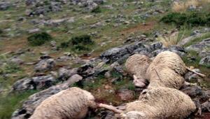 Sürüye yıldırım isabet etti, 40 hayvan telef oldu