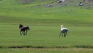 Küpe Çukurunun yılkı atları