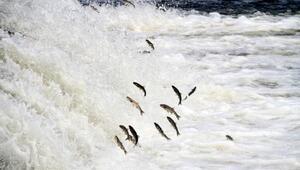 Vanda inci kefali göçü