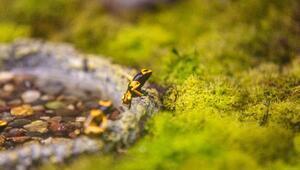 Dünyanın en zehirli kurbağası Antalyadaki akvaryumda