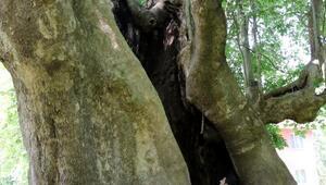 Samsunda bin yıllık dev çınar
