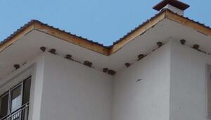 Kırlangıç yuvaları, inşaatı durdurdu