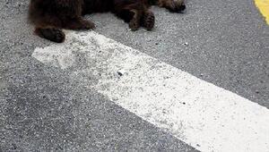 Yolda araç çarpan ayı telef oldu