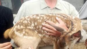 Yaralı yavru kızıl geyik tedavi edilecek