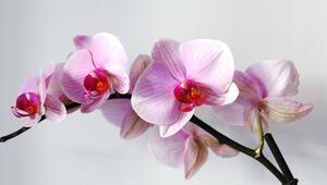 Orkide bakımı nasıl yapılır Orkide çiçeği nasıl çoğaltılır