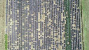 Topraklar leylak rengine büründü: Litresi tam 100 avro