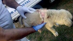 Sırtından bıçaklanan yavru köpek tedavi edildi