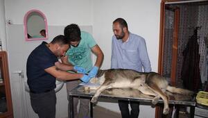 Karaman'da iki köpeğe şiddet iddiası... Sopayla dövülmüş