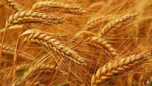 Buğdayın atası iza Boluda hayat bulacak