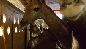 Turkish Kargo ile Tahrana 16 aylık 3 zürafa taşındı