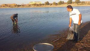 Bozkırın göletlerine 130 bin yavru balık
