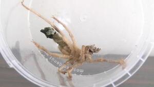 Kayseride sarıkız örümceği korkusu