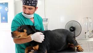Sokak köpeğine sezaryen: 12 yavru dünyaya getirdi