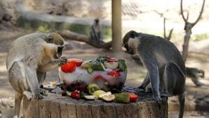 Ayı ve maymunlara buzlu meyve diyeti