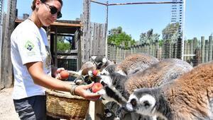 Lemurlar organik besleniyor