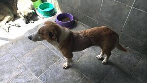 Sokak köpeği fındık kanseri yendi