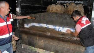 Koyun yüklü kamyonette binlerce paket kaçak sigara ele geçirildi