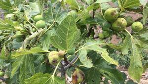 Tirede incir bahçelerini dolu vurdu