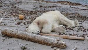 Tur gemisindeki görevli kutup ayısını öldürdü, sosyal medyada tepki yağdı