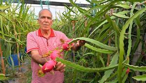 Mersinli çiftçi ejder meyvesi ile Avrupa pazarına hakim olmak istiyor