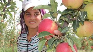 Niğdede erkenci elma hasadı