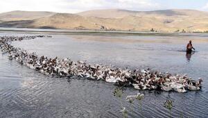 Yüzlerce kaz ile gölde yüzüyor