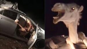 Araba kazası şoke etti Deve içeri nasıl girdi