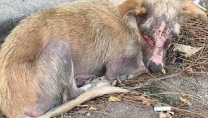 Yüzü yakılan köpek, bir gözünü kaybetti