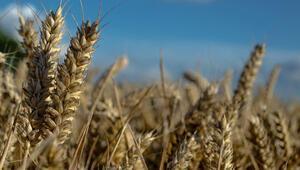 Siyez buğdayında rekolte yüz güldürdü