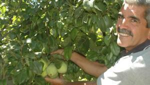 Yetiştirdiği meyveler, dalında satılıyor