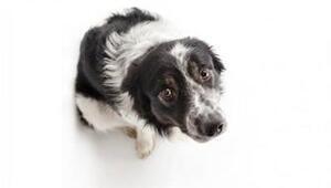 Köpeklerde korku davranışı