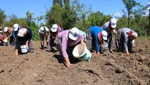 Kadın çiftçiler safran soğanlarını toprakla buluşturdu