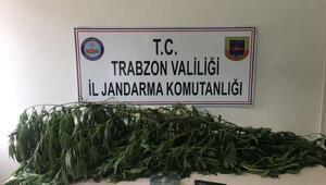 Trabzonda kenevir operasyonu