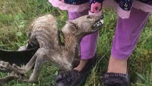 Köylüleri korkutan hayvan ölüsü sansar çıktı