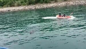 Rizede kaçan kurbanlık boğan Trabzona yüzerek geldi iddiası- Yeniden