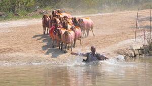 Çalda sudan koyun atlatma geleneği sürdü