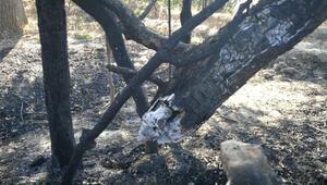 Çorumda meyve ağacı dikili 50 dönüm arazi yandı