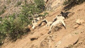 Şırnakta kayalıklardan atlayan 200 koyun ve keçi telef oldu