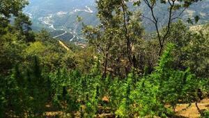 Kirazda ormanlık alanda 1970 kök Hint keneviri ele geçirildi
